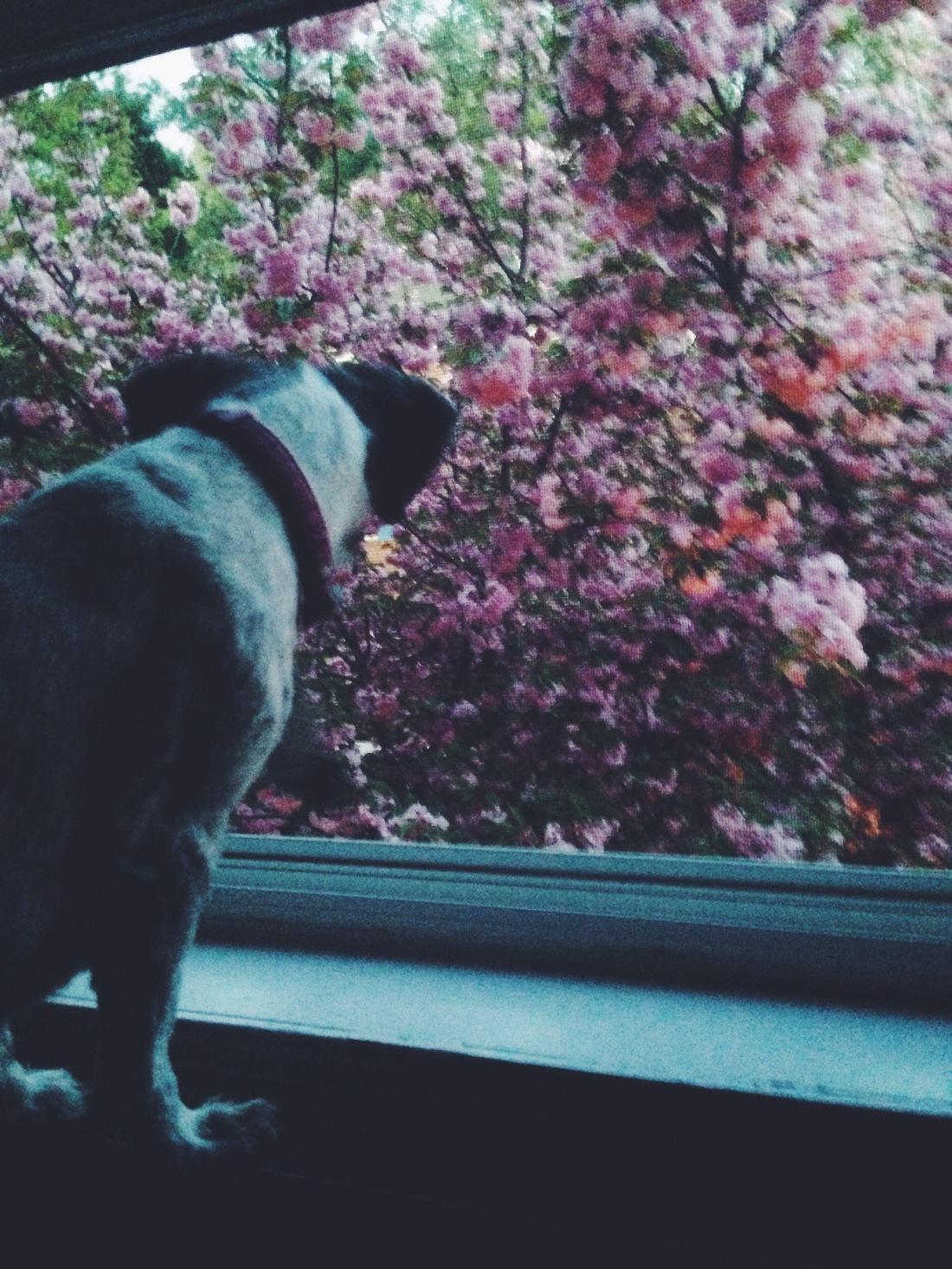dc cherry blossom tree_reidmore blog